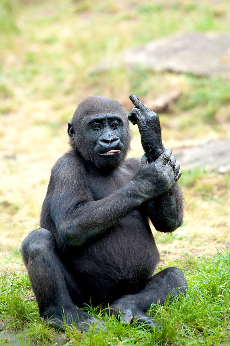 Gorilla - Affe zeigt Stinkefinger (Foto: Eric Gevaert | iStockphoto | Thinkstock)