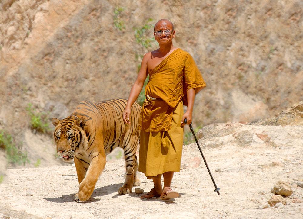 Buddhistischer Mönch geht mit bengalischem Tiger spazieren (Foto: Hotshotsworldwide   Dreamstime)